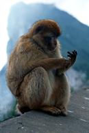 Barbary Ape, Macaques, Rock of Gibraltar